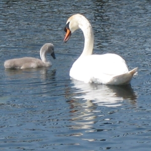 swans-on-lough-corrib-moycullen-galway